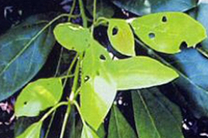 Avocado leaves with holes